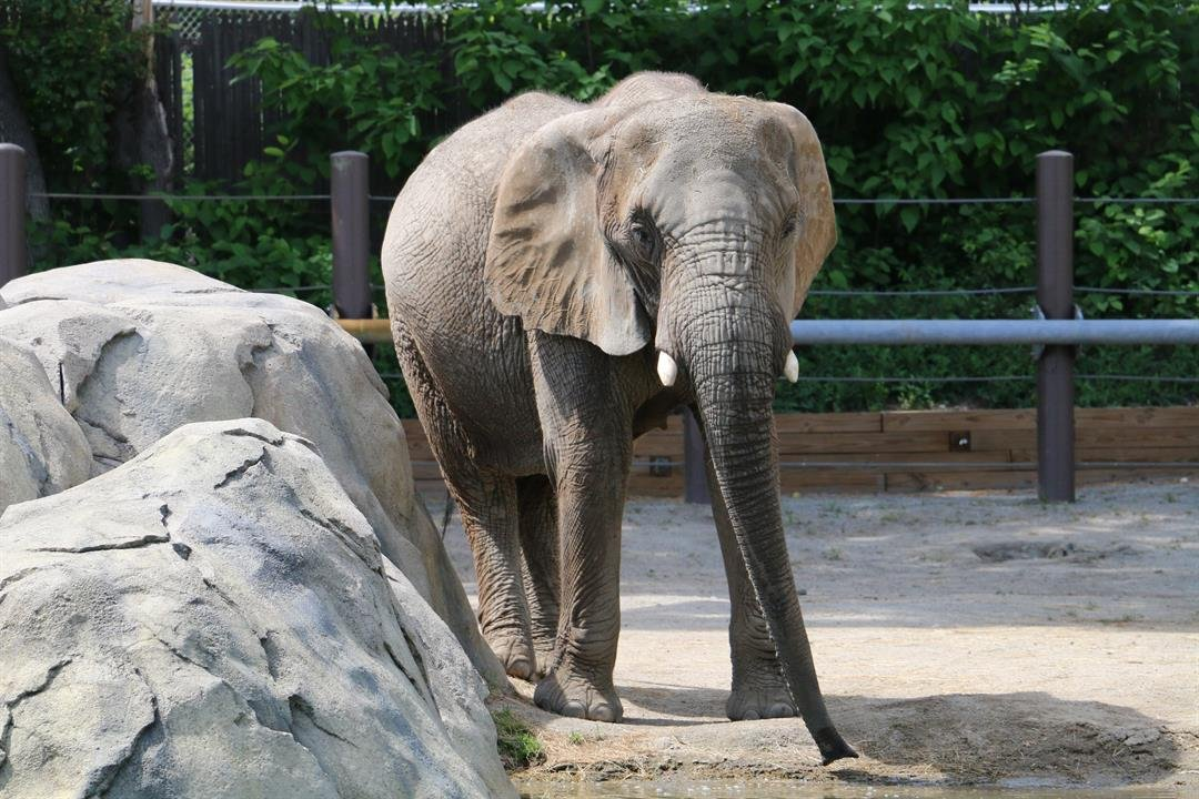 An African Elephant at Roger Williams Park Zoo