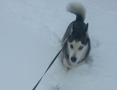  Just for fun.. My husky weathered the storm.