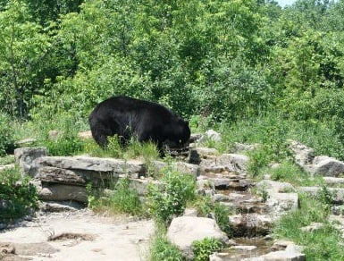 ? File photo of a black bear, not the North Kingstown Black Bear