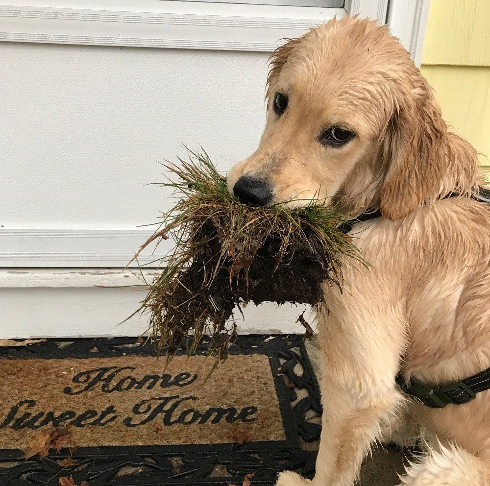 Golden Retriever Puppy Diagnosed With Rare Disease