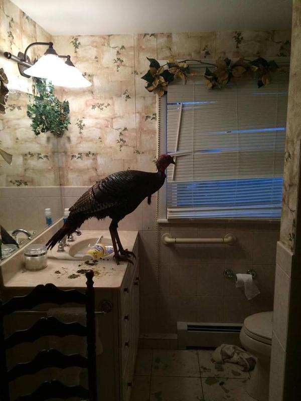 Warwick Woman Finds Wild Turkey In Bathroom 1 000s In
